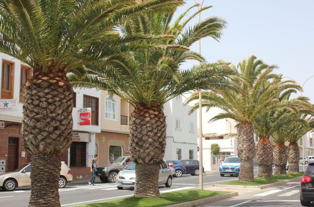 El Ayuntamiento inicia una campaña global de poda de palmeras