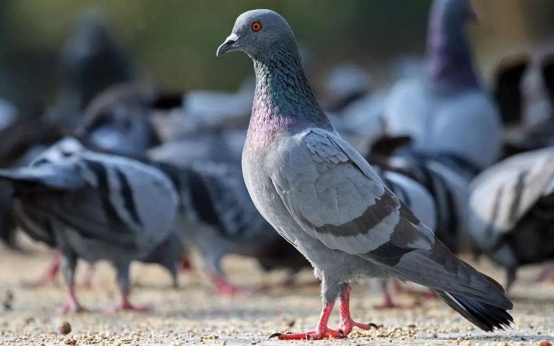 A licitación el servicio de control de palomas y tórtolas en el municipio de Puerto del Rosario